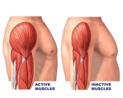 músculos ativos
