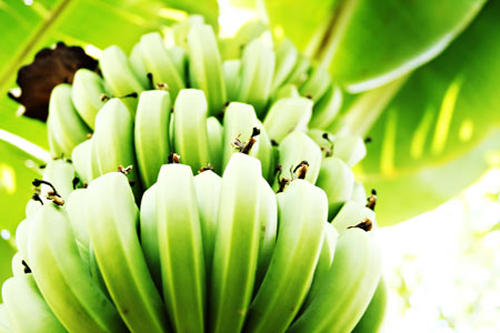 banana verde cacho